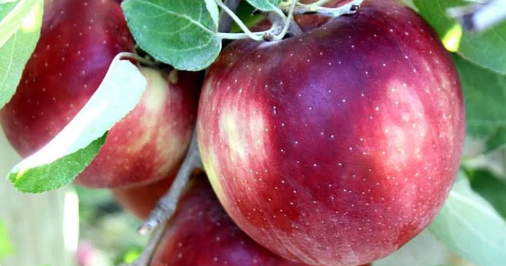 Cosmic Crisp apples can stay fresh for a whole year