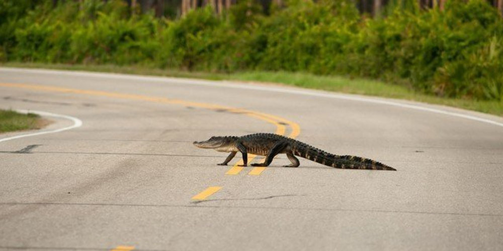 An alligator crosses the road, video went viral