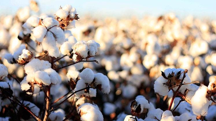 Imran Khan on cotton