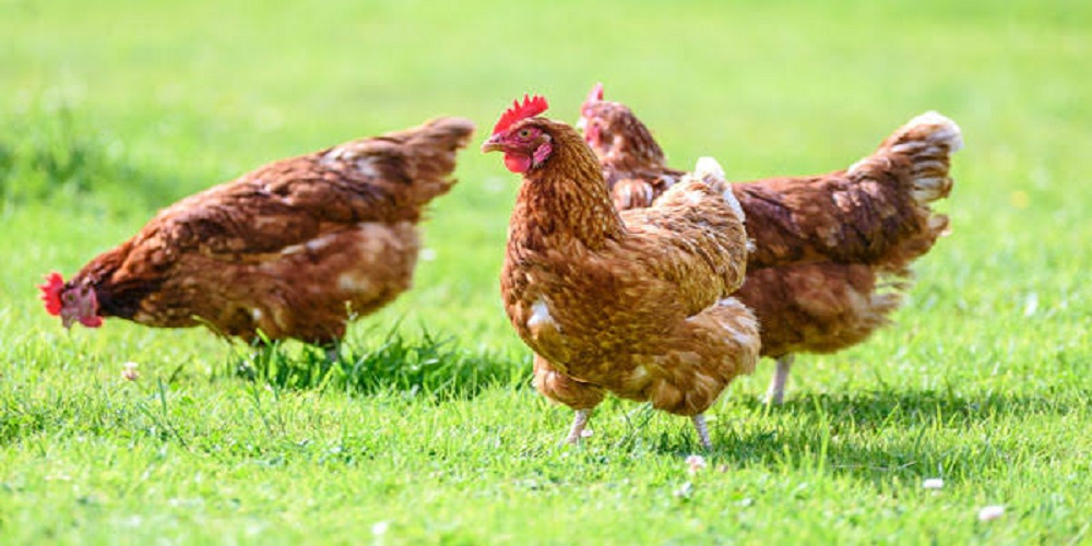 After dangerous coronavirus, another pathetic disease hit China. The outbreak of bird flu has been reported near the epicenter of coronavirus.