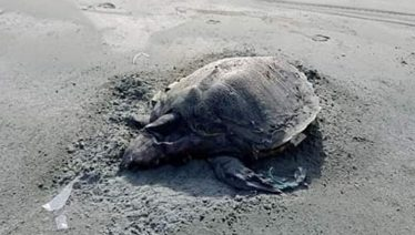 Turtles on Makran beaches