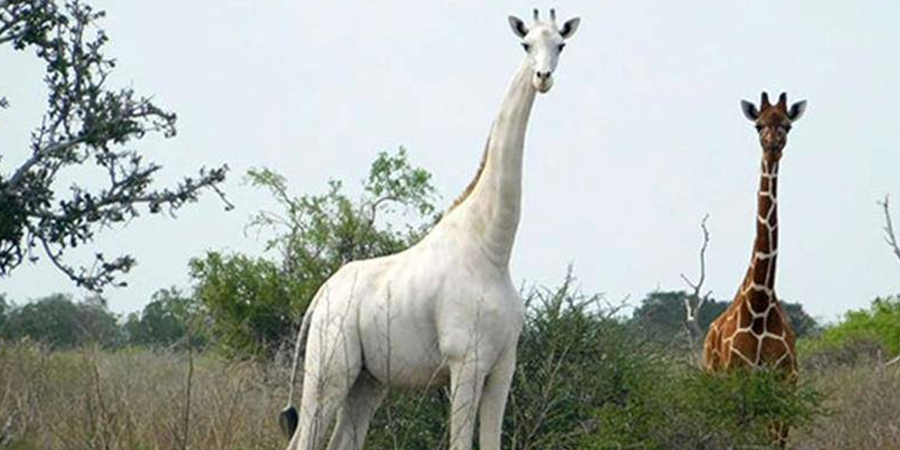 Rare and unique white skin giraffe and her calf have been killed by poachers in north-eastern Kenya.