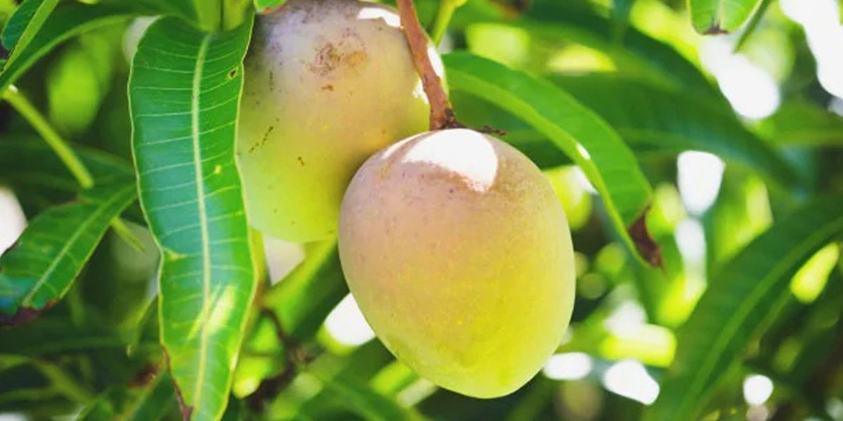 The medical benefits of mango leaves
