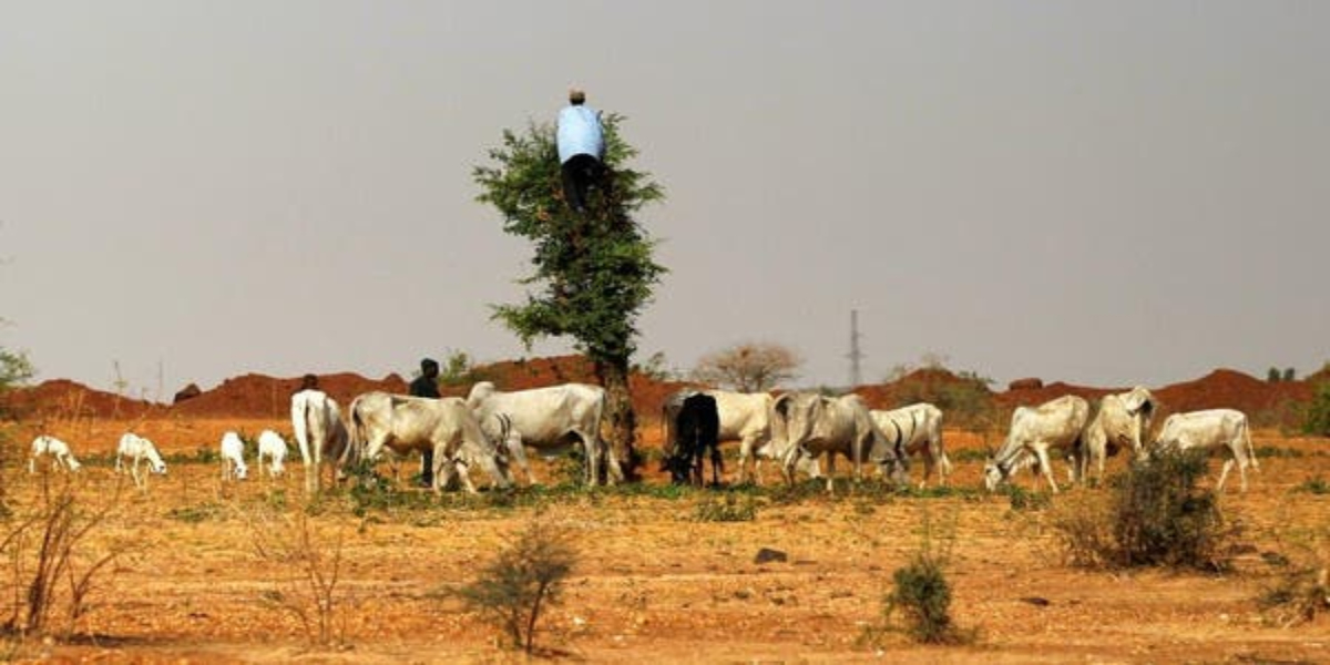 Nigerian government offers cows for guns to stop attacks