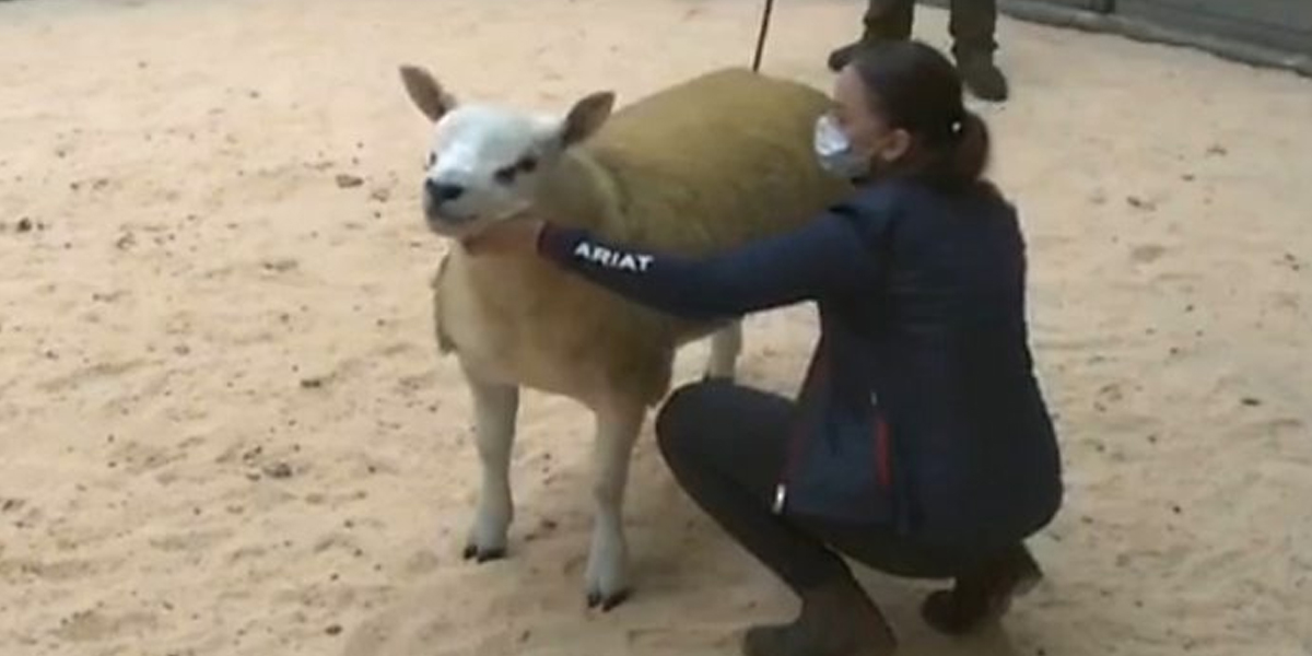 World's 'most expensive sheep' sold for Rs 82 million