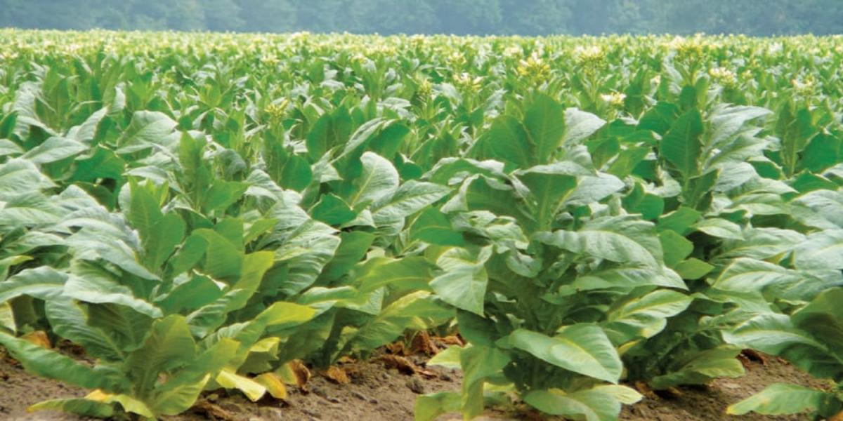 pakistan tobacco industry