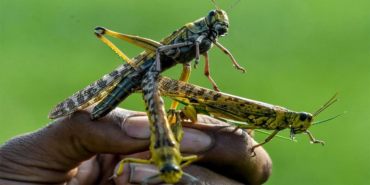 Pakistan Successfully Wins The War Against Locust Infestation