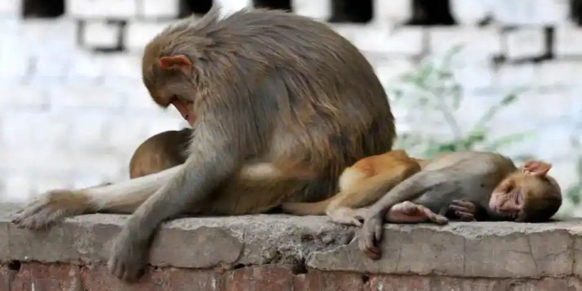 India: More Than 30 Monkeys Die From Suspected Poisoning