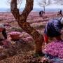 Kashmir Saffron Crop