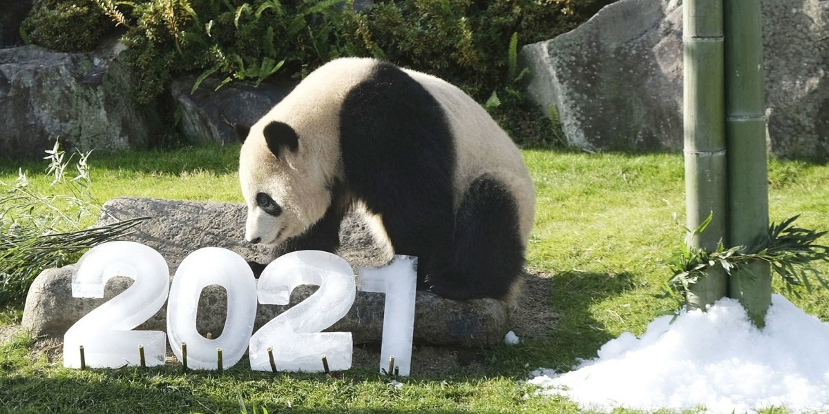 Giant Panda All Set To Welcome Year 2021 In Japan