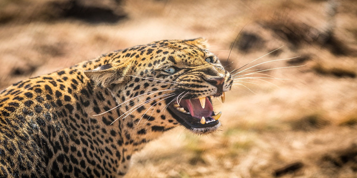 Leopard entered airport