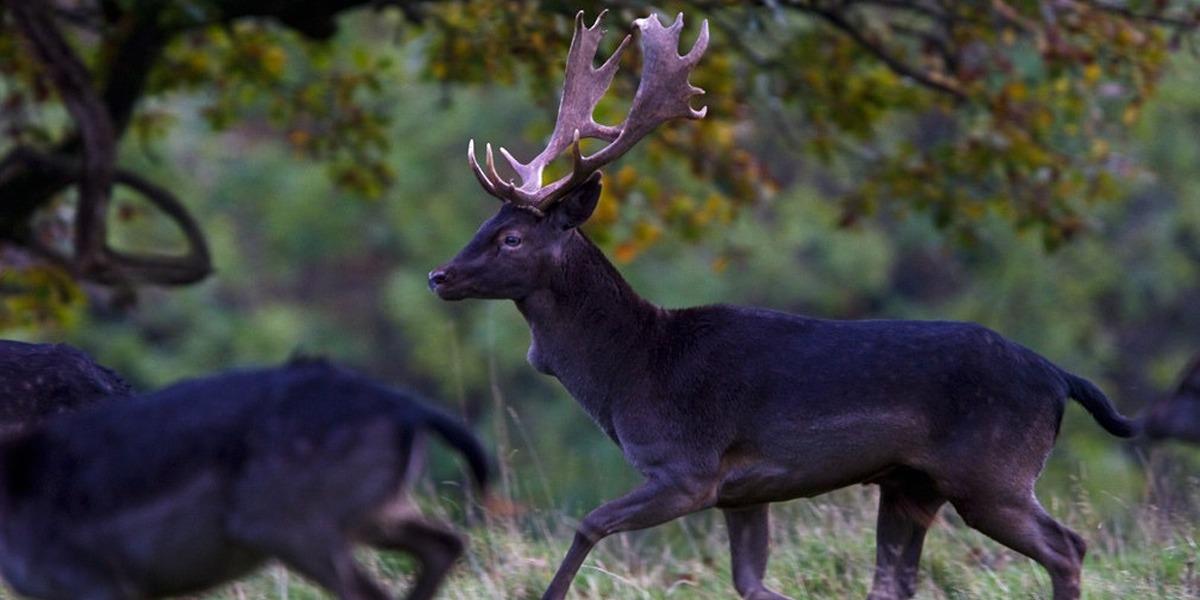Black Deer stolen