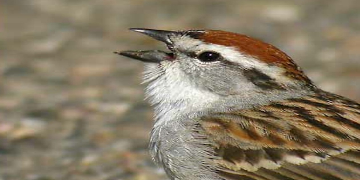 How Does Birds Chirping Affect Human Behavior?