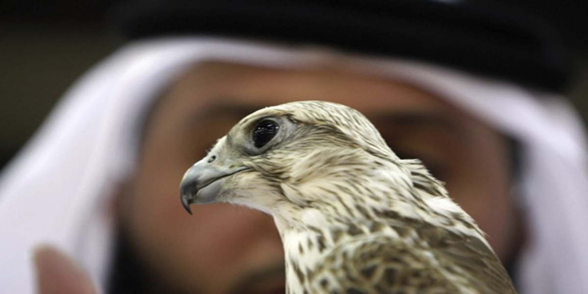 Permit To Export Falcons Issued To UAE As A Goodwill Gesture