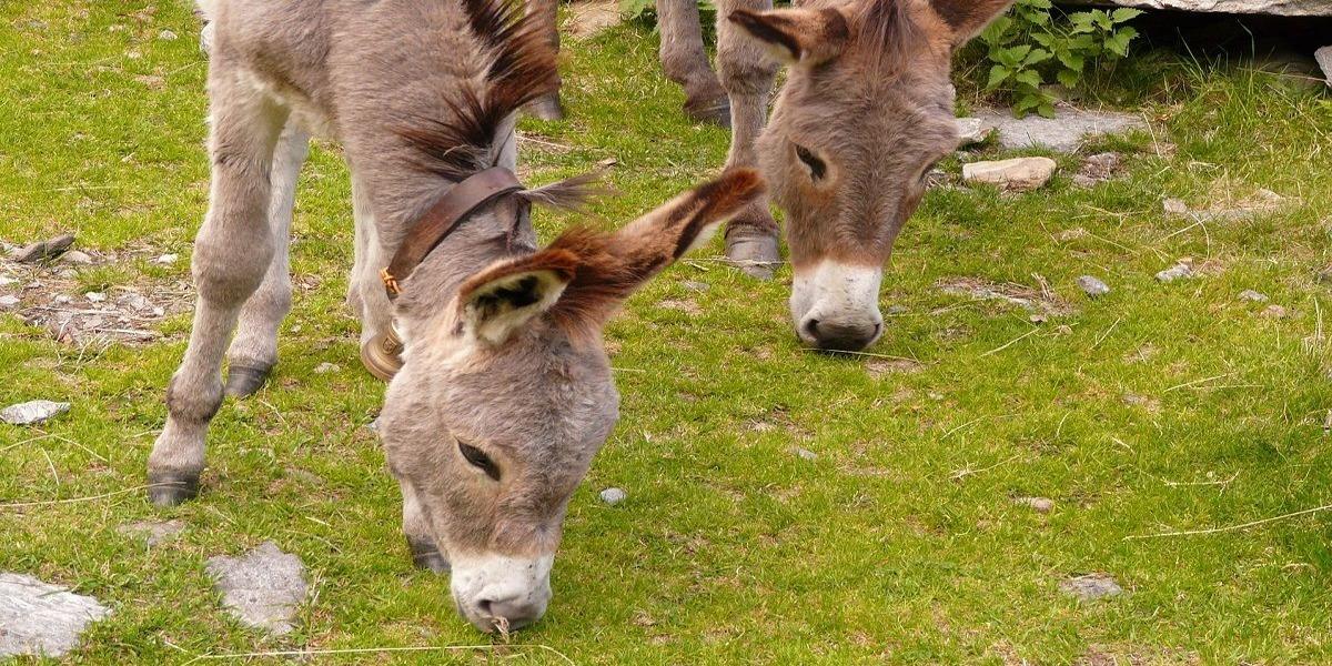 Andhra Pradesh Donkey Slaughter
