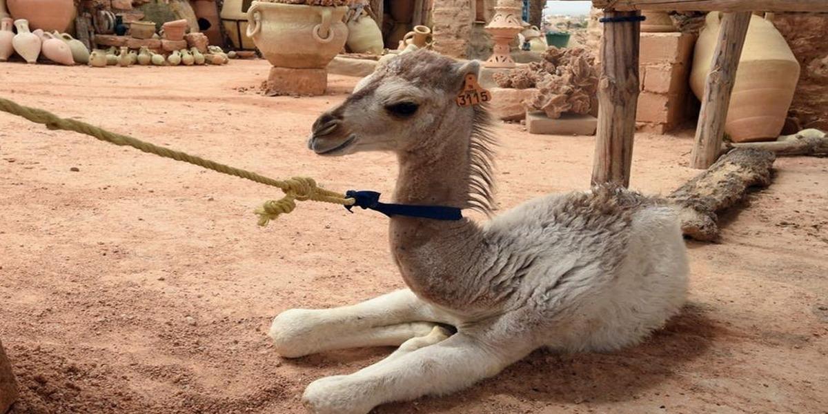 Baby camel stolen by a man in Dubai