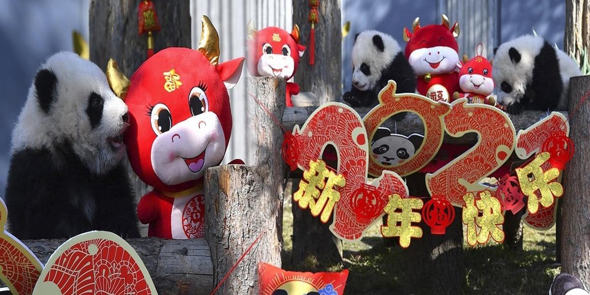 China: 10 Baby Pandas Make Debut To Mark Chinese New Year