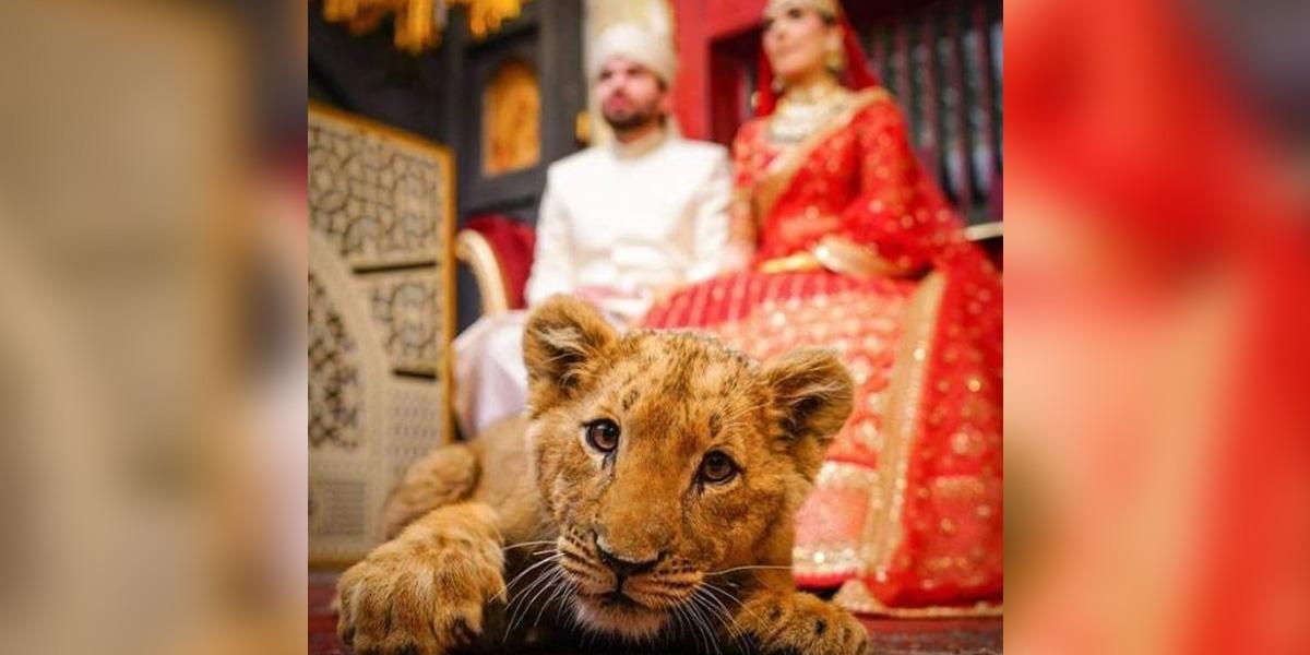 Sedated Lion Cub At A wedding