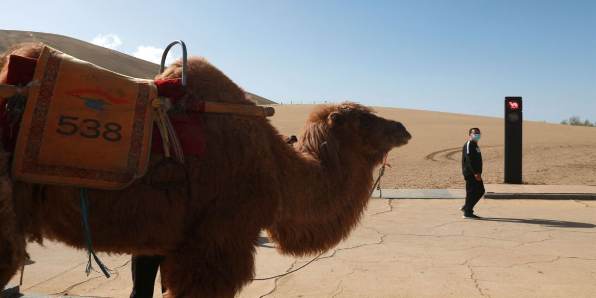 Traffic Signals for Camels