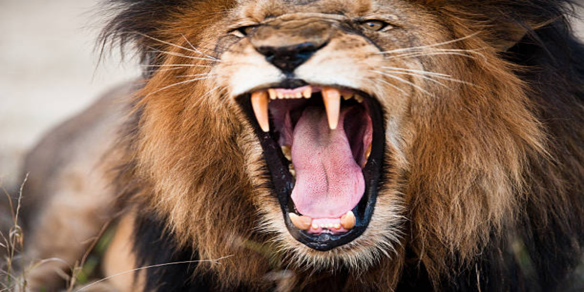 Saudi Arabia: Man Killed After Attack From Lion