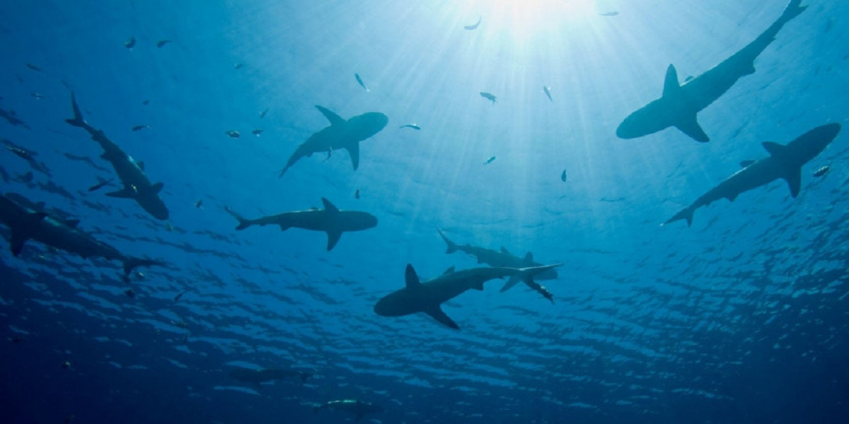 A shark riddle evolving for millions of years, still a mystery