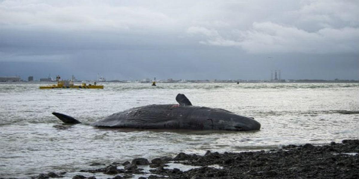 Whale vomit