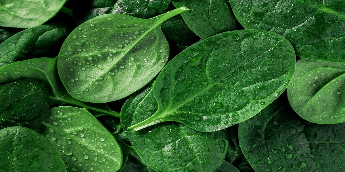 Is spinach good for your health? ask Popeye and science
