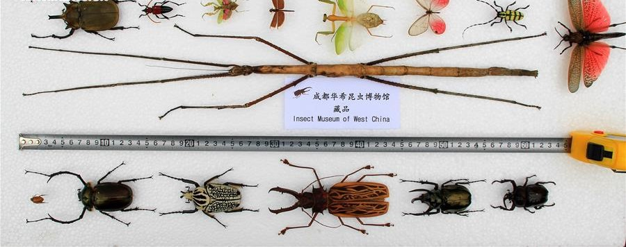 The World's Longest Stick Insect Is 2 feet long