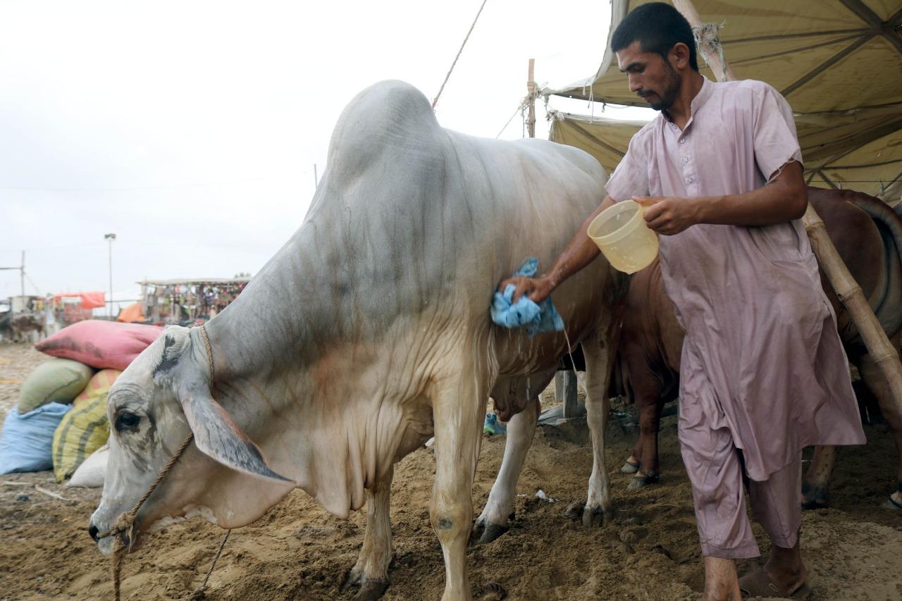 Cow Mandi 2021