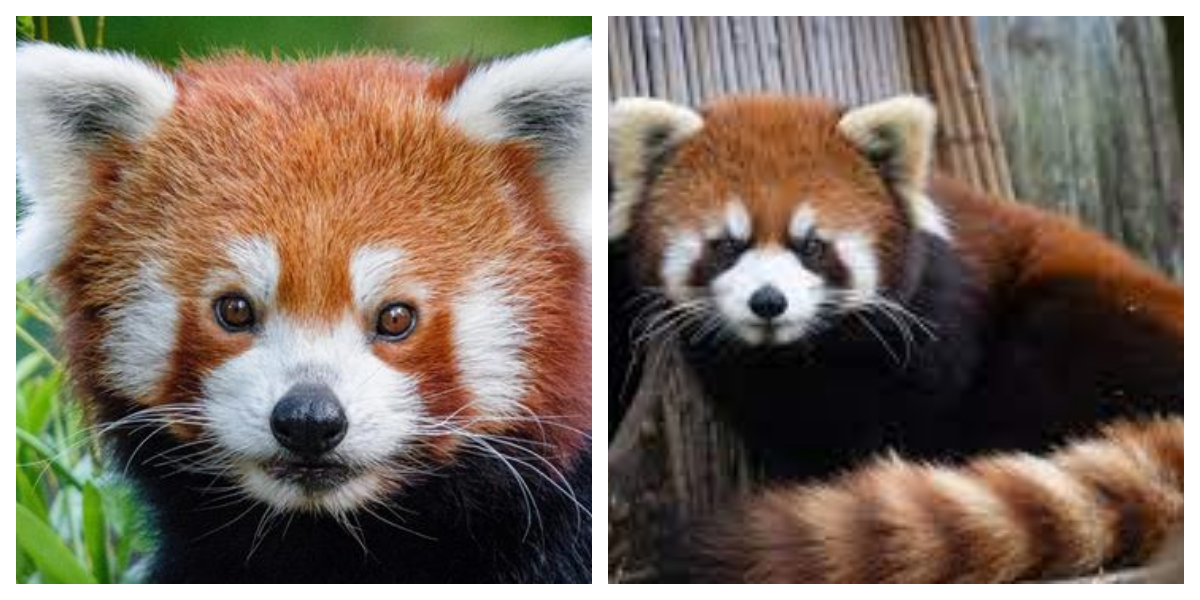 Red Panda Found A Day After it Went Missing From German Zoo