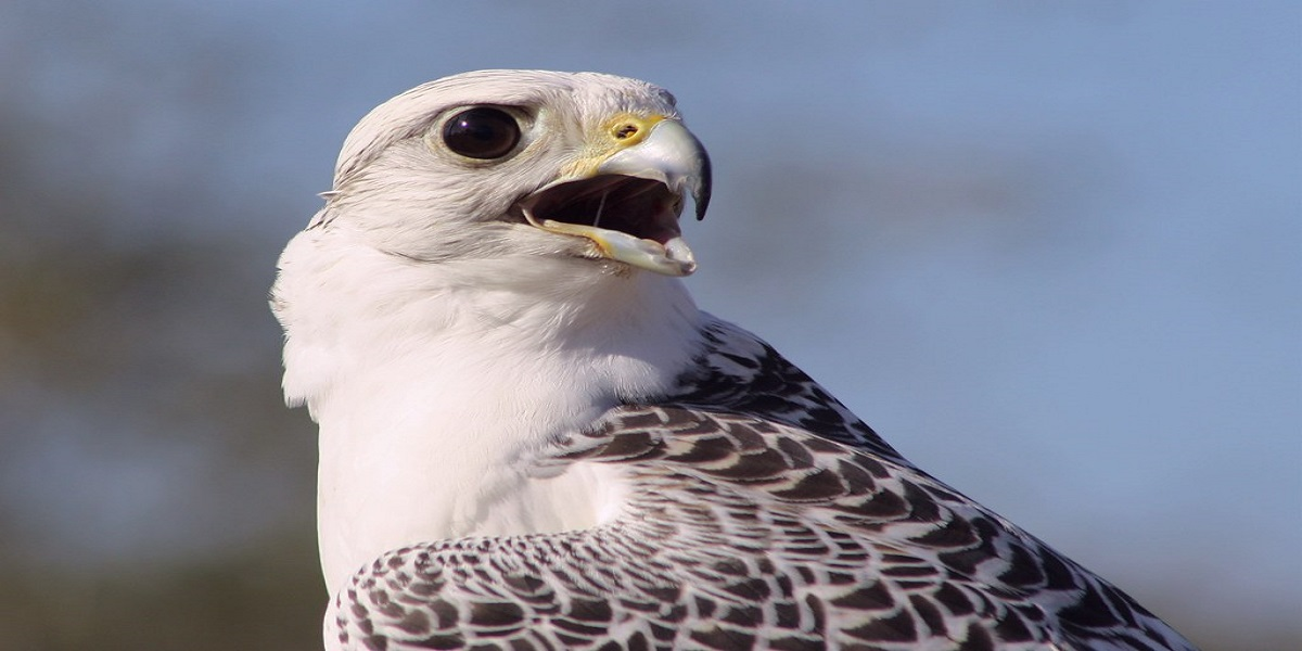 Auction of a Super White Gyrfalcon for $93,000 sets a new record