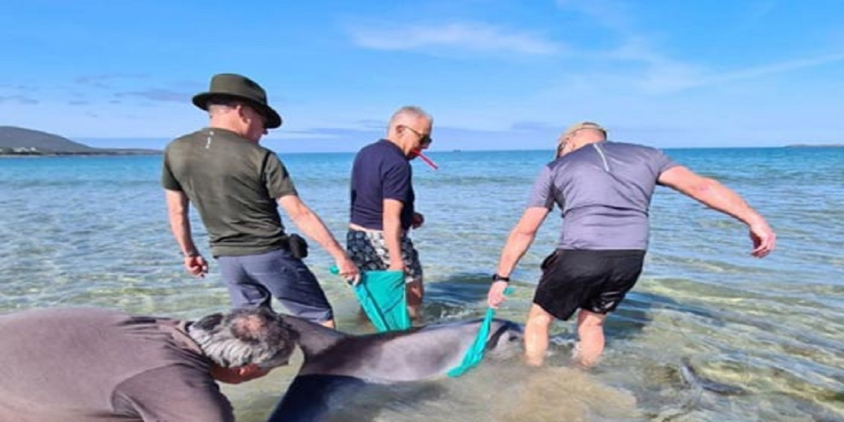 Volunteers assist in the rescue of a stranded dolphin on an Irish beach