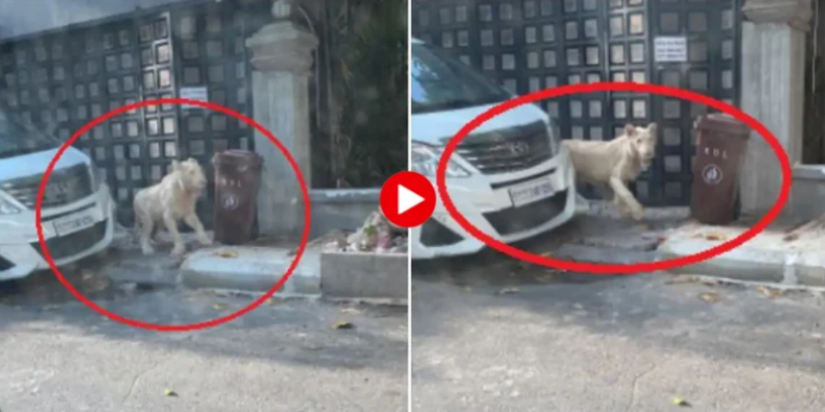 terrified lion came on the road