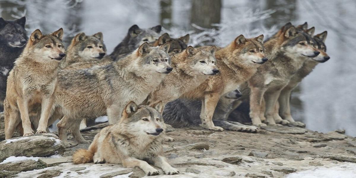 North Carolina: Authorities captured nine escaped wolf-dog hybrids