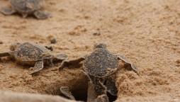 Two-headed sea turtle found on South Carolina beach
