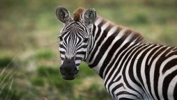 Two runaway zebras were captured after straying into a Wisconsin road