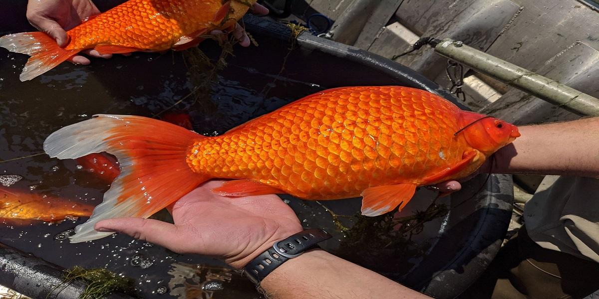 Oversized Goldfish are wreaking havoc on a Minnesota lake