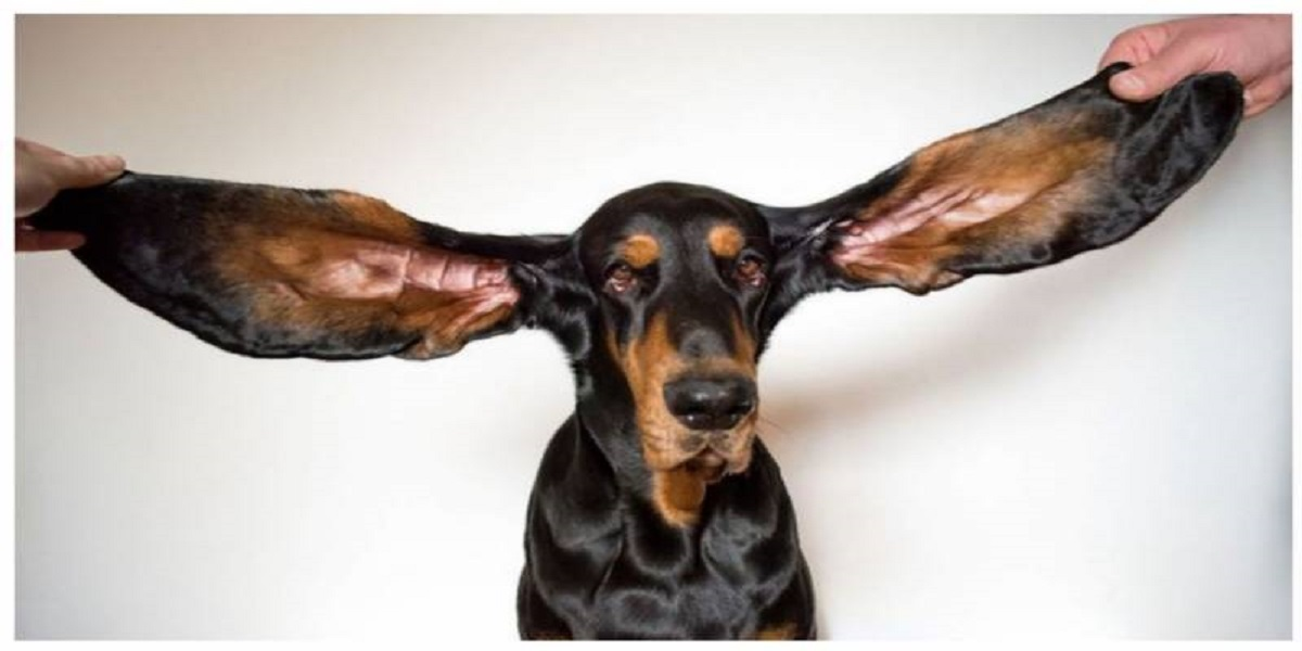 12-inch ears of an Oregon dog set a Guinness World Record