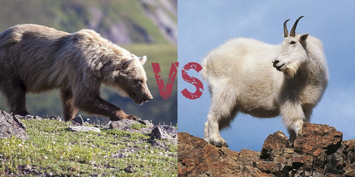 Mountain goat killed Grizzly bear in British Columbia