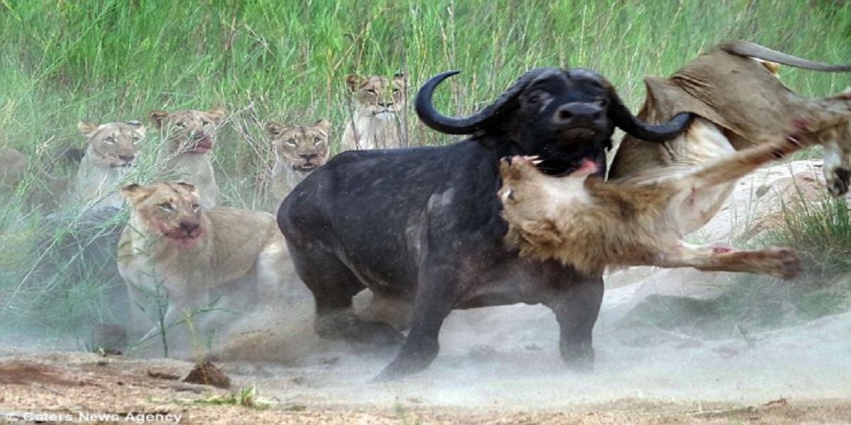 buffalo attacks lions
