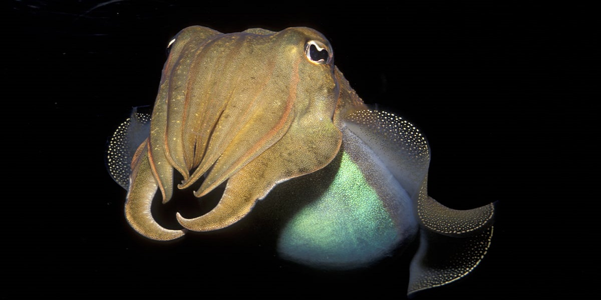 Cuttlefish memories retain their sharpness as they grow