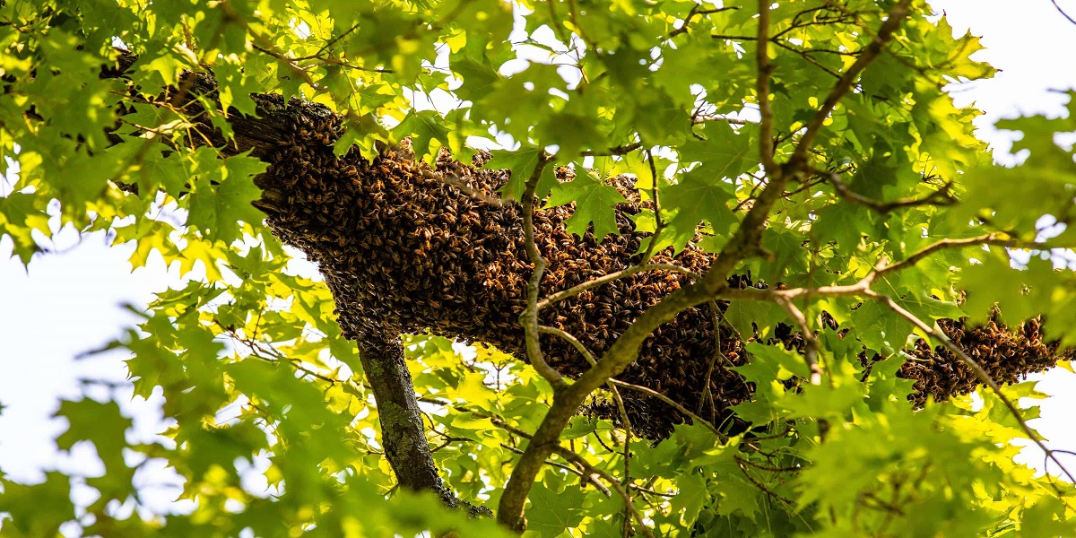 Fallen tree in Florida leads hundreds of bees to swarm