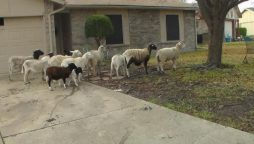 Texas cops are on the hunt for escaped sheep on the highway