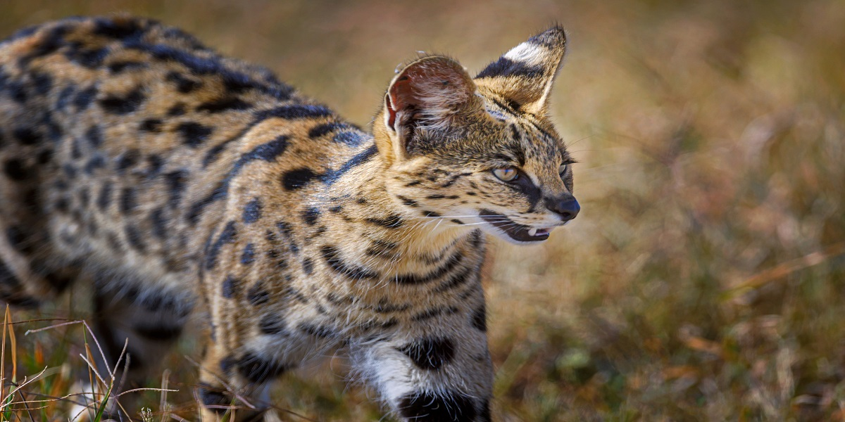Two African servals make their way out of an Alabama pet shop