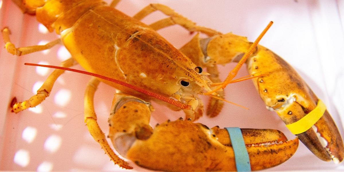 Restaurant in Arizona gave an orange lobster to the aquarium