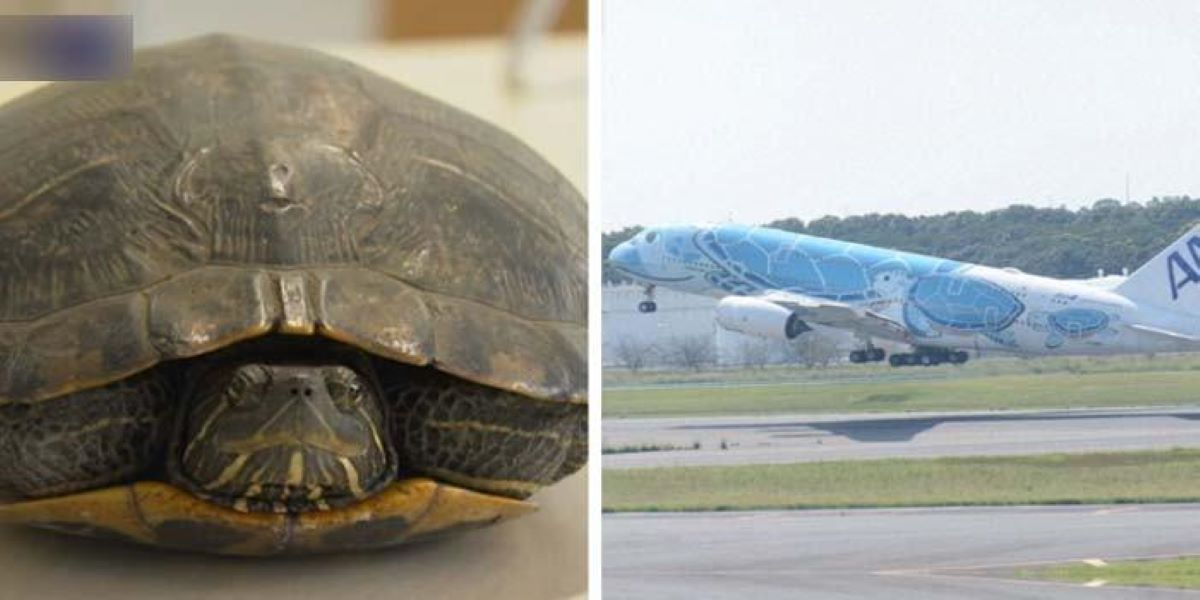 Slow moving turtle delays five planes at Japan airport