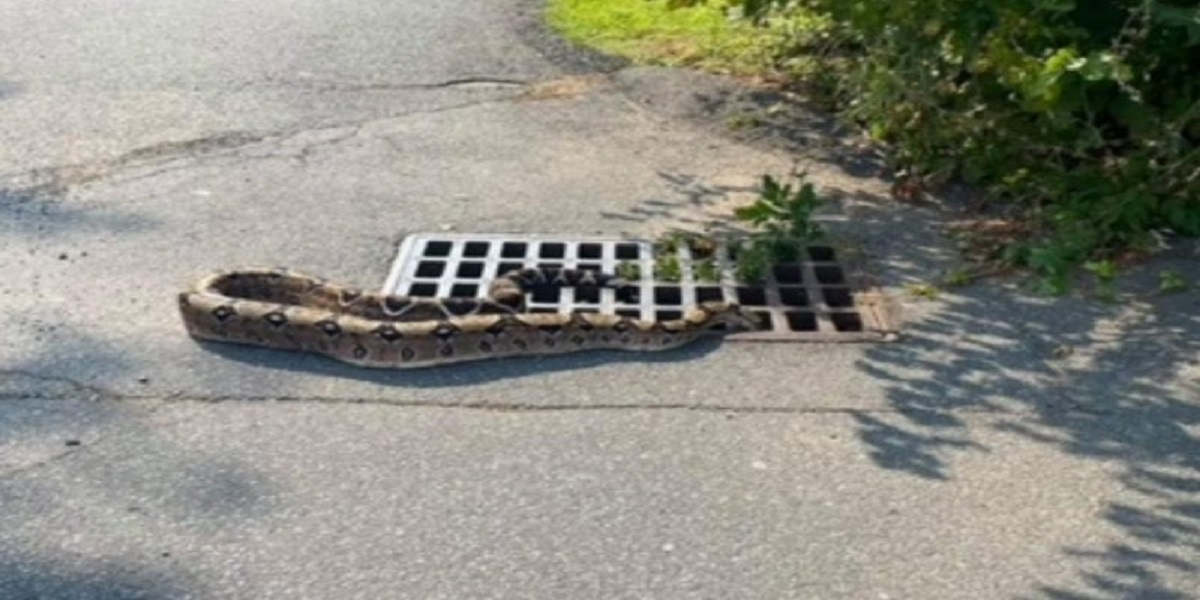 Snake rescued from New York storm drain after slithering inside it