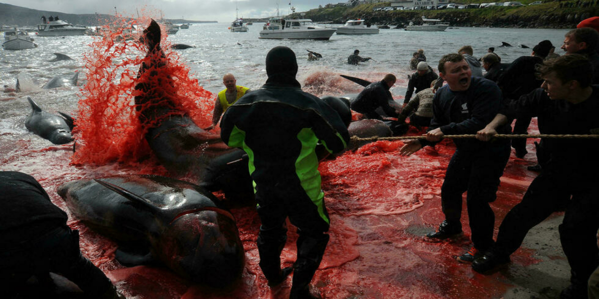 Faroe Islands mass dolphin slaughter casts shadow over tradition