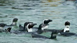 Bees kill dozens of endangered penguins in South Africa