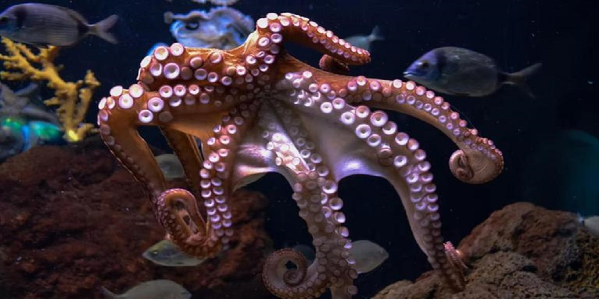 Female Octopuses throws objects at males when harassed